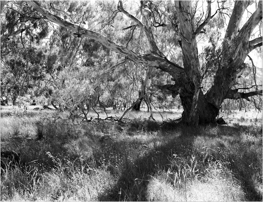 Red Gum contra-jour straight scan web.jpg
