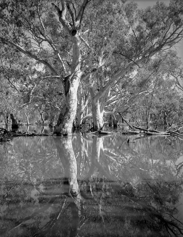Flooded Red Gums (Coat's Swamp) web.jpg