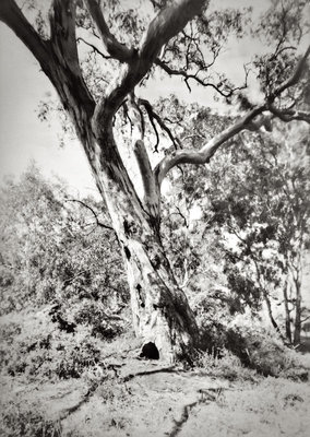 Tree, Djerriwarrh Creek.jpg