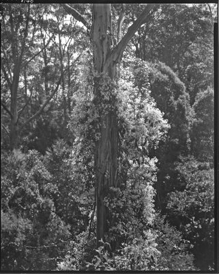 Clematis and Manna Gum309 copy 2 LFPF.jpg